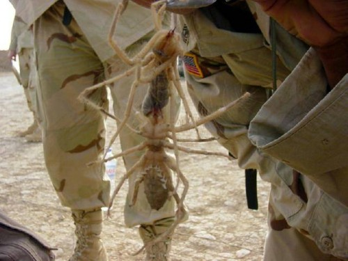 large-camel-spider