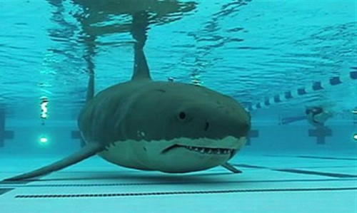 shark_in_pool